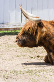 Highlands Bull — Stock Photo