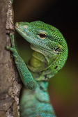 Iguana close up — Stock Photo