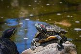żółw na skale — Zdjęcie stockowe