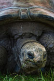 Giant tortoise — Photo