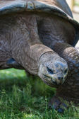 Giant tortoise — Foto Stock