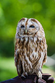 Barred owl (strix varia) — Stock Photo