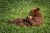 Cute brown bear cub — Stock Photo