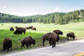 Wild bufalo — Stock Photo