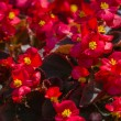 Begonia flowers — Stock Photo #49141203