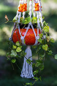 Hanging devil's ivy plant  — Stock Photo