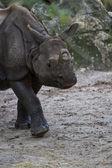 Nosorożec — Zdjęcie stockowe