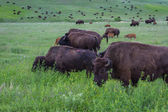 American Buffalo  — Stock Photo