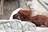 Bornean orangutan  - Pongo pygmaeus — Stock Photo