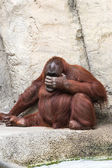 Bornean orangutan  - Pongo pygmaeus — Stock Photo