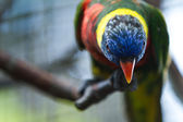 Colorful lorikeet — Stock Photo