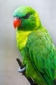 绿色澳洲鹦鹉 — 图库照片
