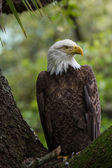 Perched american bald eagle — Stock Photo
