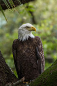 Perched american bald eagle — Foto Stock