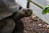 Galapagos tortoise  — Stock Photo