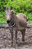 Pregnant zebra — Stock Photo