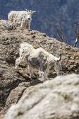 山のヤギ — ストック写真