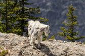 山ヤギ — ストック写真
