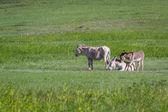 野生的驴子 — 图库照片