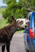 Wild burros on the road  — Stock Photo
