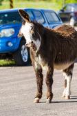 Wild burros on the road  — Foto de Stock