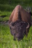 Búfalo americano masculino adulto — Fotografia Stock
