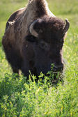 Buffalo ou bison — Photo