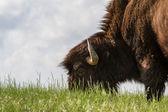 Bison mâle — Photo