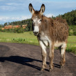 Wild burro — Stock Photo #50737743