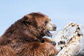 Adult brown bear  — Stock Photo