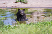 Adult black bear  — Stock Photo
