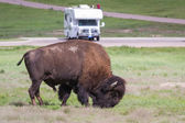 Bison or buffalo — Stock Photo