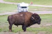 Bison or buffalo — Stock Photo