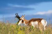 Prong horn antelope  — Fotografia Stock