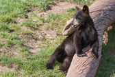 Bear cub portrait — Stock Photo