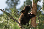 Black bear club — Stock Photo