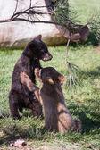 Baby bear cubs — Stock Photo