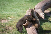 Baby bear cubs — Stock Photo