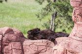 Ours noir adulte — Photo