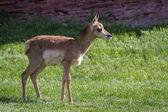 Baby antelope — Stock Photo