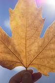 Autumn scenery, beautiful maple leaves. — Stock Photo