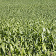 Stock Photo: Field of crops