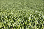 Field of crops — Stock Photo