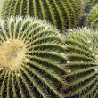 Cacti background — Stock Photo