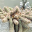 Desert cacti — Stock Photo