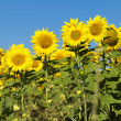 Sunflowers on sunny day — Stock Photo