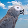 African Grey parrot . — Stock Photo