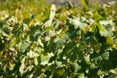 Grape leaves . — Stock Photo