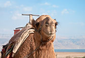 A camel at the Dead Sea . — Stock Photo