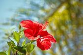 Hibiscus . — Stock Photo